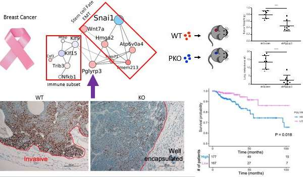 Pglyrp3, a novel critical regulator of breast cancer development and metastasis
