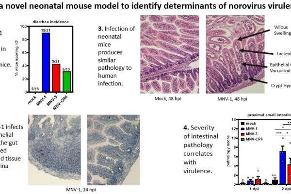 Using a novel neonatal mouse model to identify determinants of norovirus virulence